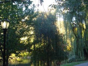 Ива. Ботанический сад Бруклина