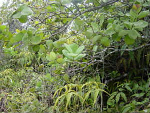 Молодое сандаловое деревце