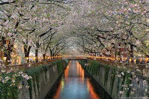 Цветущая сакура вдоль реки Мэгуро. Токио.Япония.